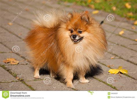 types of pomeranian dogs pomeranian spitz breeds picture