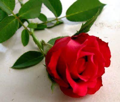 Mawar Merah Hati arti warna dan jumlah bunga mawar gelysnindri