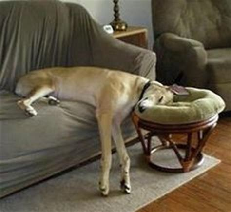 sighthounds on sofas 1000 images about greyhound on pinterest greyhounds