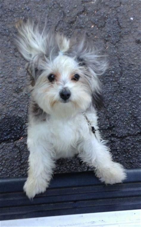 maltese golden retriever mix golden retriever and shar pei mix dogs pictures photos breeds picture