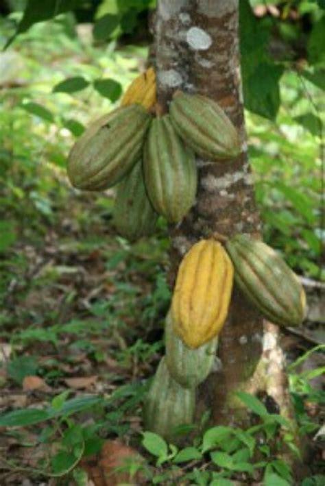 cocoa tree fruit cocoa fruit tree fruit trees