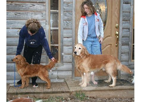 is there a miniature golden retriever mini golden retriever my mini farm someday