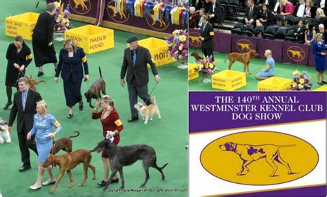 westminster golden retriever 2016 westminster woofs wow cat lover golden woofs