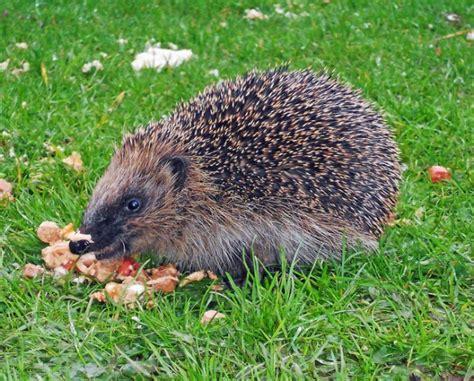 alimentazione dei ricci di terra ricci in giardino contro le lumache casetta e dieta