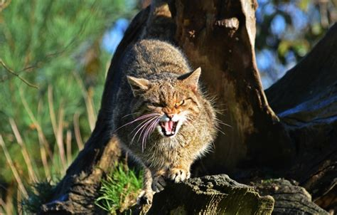 cat ka wallpaper wallpaper scottish the scottish wildcat face wild cat