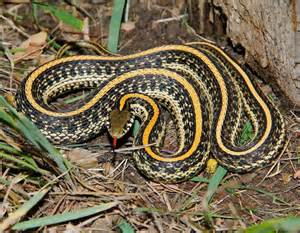 Garter Snake Lighting Requirements Plains Gartersnake Plains Garter Snake Mdc Discover Nature