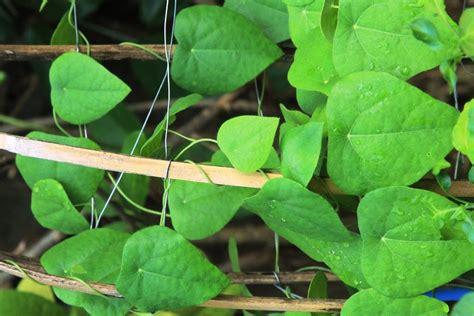 Bibit Tanaman Cincau Hijau Rambat v1olet my favorite things flora cincau hijau