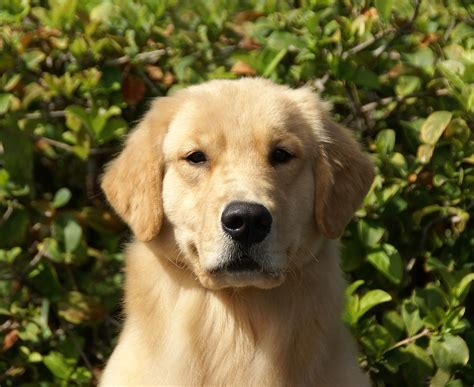 golden journey retrievers journey from gemini golden retrievers of rockledge florida