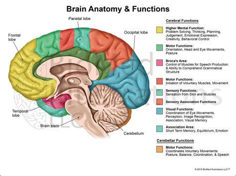 diagram of brain lobes brain function diagram brain diagram and functions science
