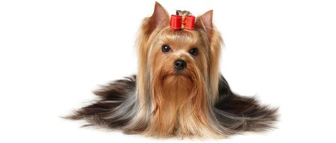 yorkie puppy scams pet scams continental pet relocation