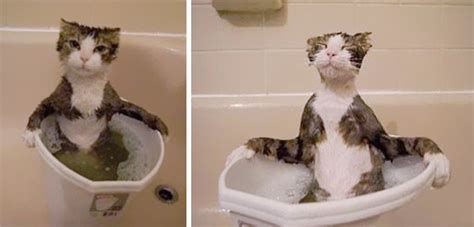 Why Do Cats Like Bathtubs by 25 Cats That Water