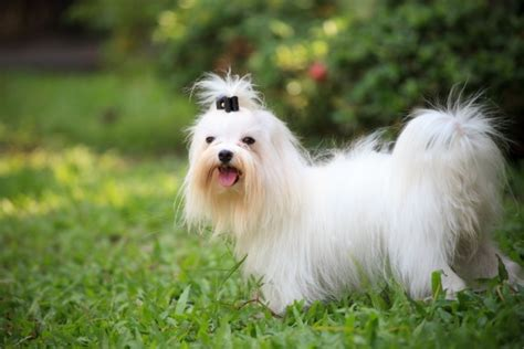 Do Maltese Shed Hair by Breeds That Don T Shed Pawculture