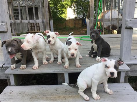 bull terrier puppies for sale in va american pit bull terrier puppies for sale richmond va 203698