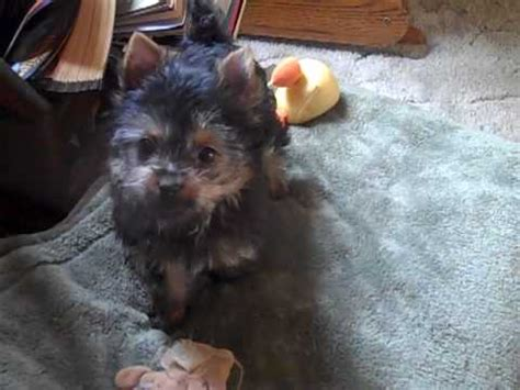 yorkie poo names yorkie poo names image search results