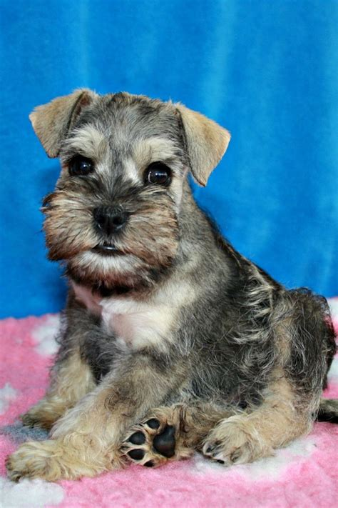 schnauzer pug puppies dogs ready for adoption will be posted this sign breeds picture