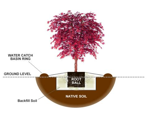 how to plant a japanese maple tree in the ground wilson bros gardens