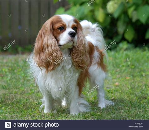 blenheim color cavalier king charles spaniel blenheim color stock