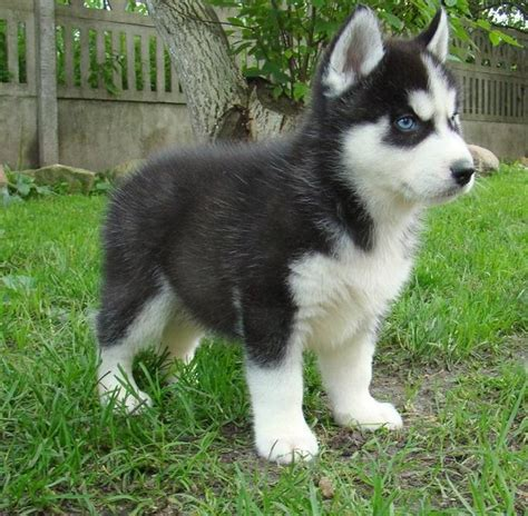 husky puppies for sale in san diego siberian husky puppies for sale san diego ca 143332