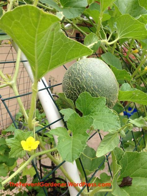 cantaloupe   trellis growing cantaloupe vertical