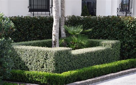 instant hedges  corokia frosted chocolate  buxus