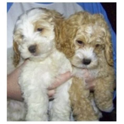 cockapoo puppies for sale in sc barmor s puppies cockapoo breeder in greenville south carolina listing id 19845