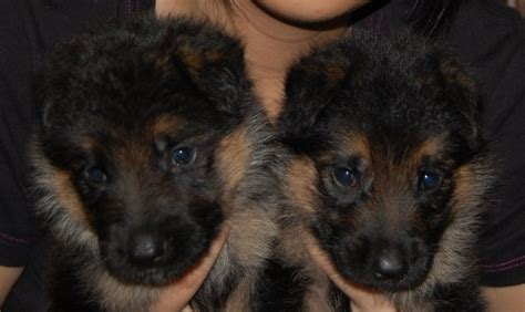 local german shepherd puppies for sale malaysia and puppy portal commercial puppies for sale local german