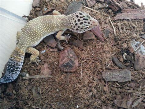 geco leopardino alimentazione emporio degli animali geco leopardino