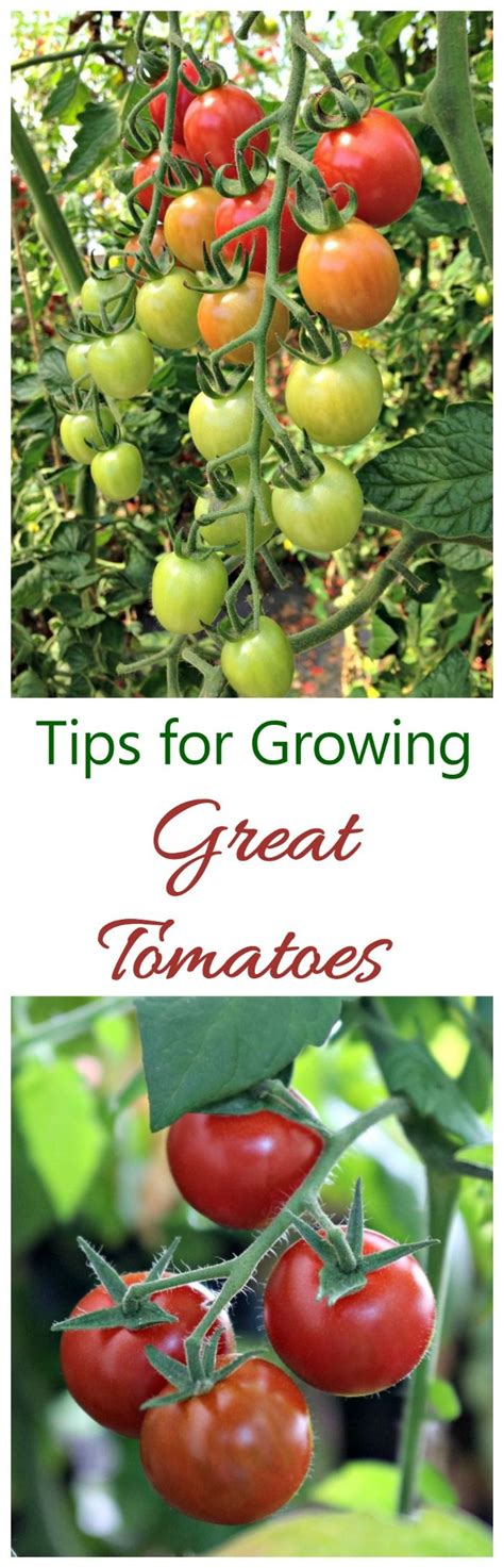 tomatoes have you heard of these tips and advice on best 25 growing tomatoes ideas on pinterest tomato