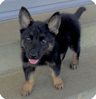 german shepherd rescue ohio swayze adopted puppy columbus oh german shepherd