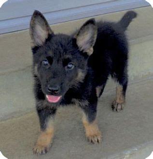 german shepherd puppies columbus ohio swayze adopted puppy columbus oh german shepherd