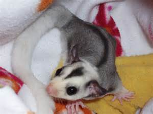 sugar glider colors mosaic pinto
