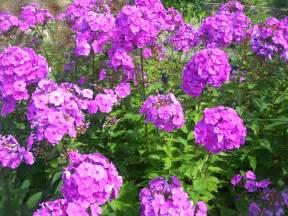 Tall Phlox Flowers - phlox paniculata