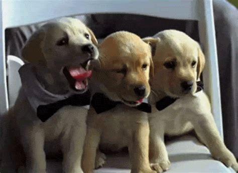 puppy yawning gallery yawning puppy gif