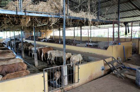 Do Cows Shed by Cow Sheds