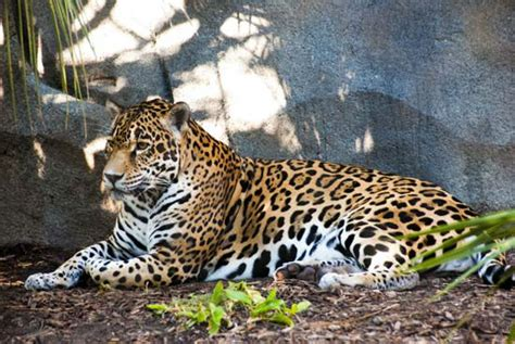 houston zoo euthanizes geriatric jaguar abc13