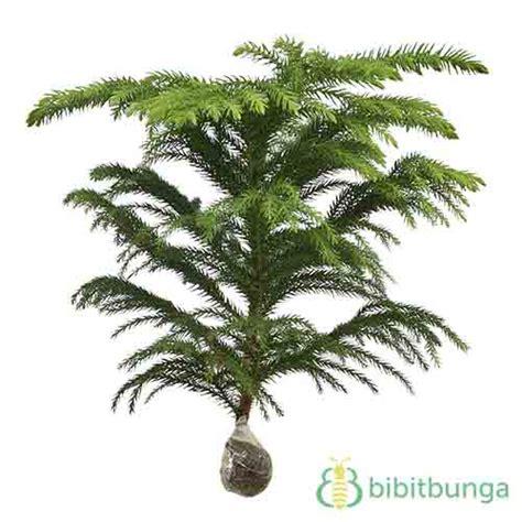 tanaman cemara norflok