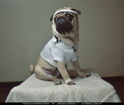 pug tennis 17 best images about tennis funnies on tennis bag open and