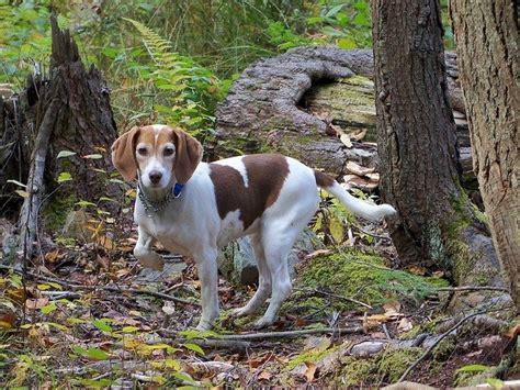 alimentazione corretta per cani alimentazione segugio la dieta corretta dogalize