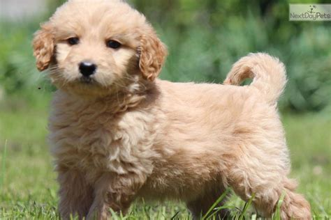 mini doodle michigan goldendoodle puppy for sale near grand rapids michigan