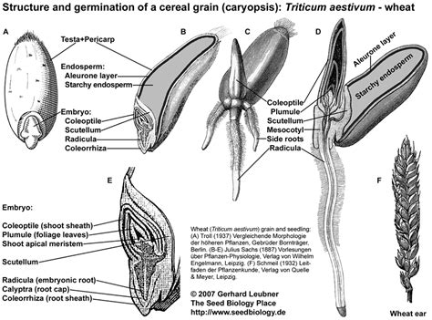 wheat seed diagram pics for gt wheat seed diagram
