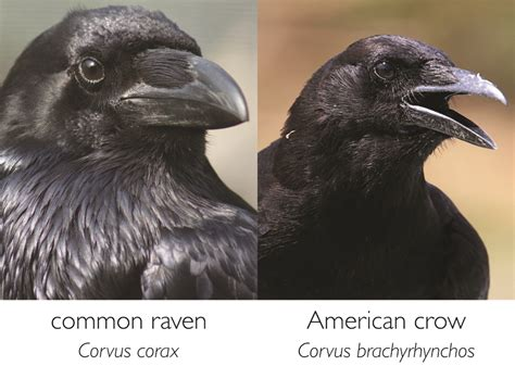 biopgh blog ravens and crows phipps conservatory and
