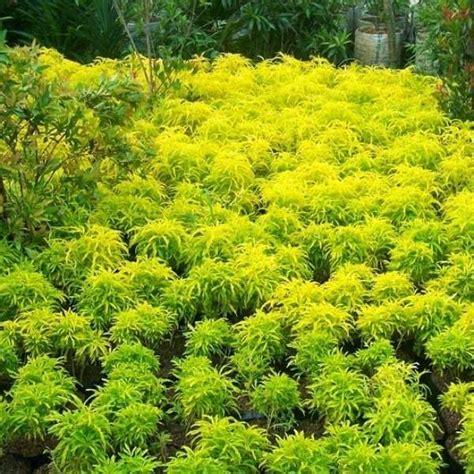 jual bibit unggul tanaman brokoli kuning bibit