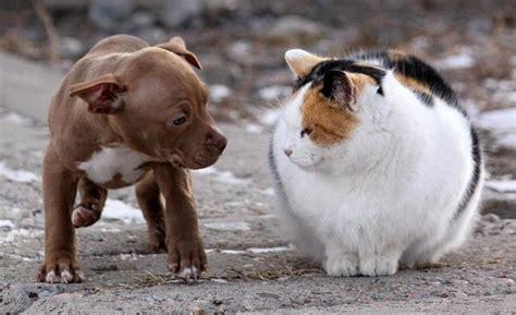alimentazione gatto cucciolo come addestrare un pit bull mondopets it