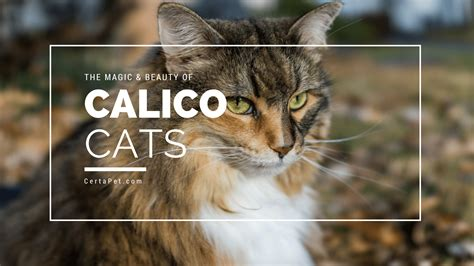 naming your calico cat name ideas for calico cats page 1 the magic and beauty of calico cats certapet