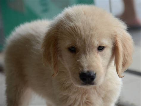 adopt a golden retriever puppy for free golden retriever up for adoption labrador and golden retriever mixed puppies posot