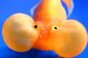 facts around us: Bubble Eye Goldfish   Egg shaped transparent gold
