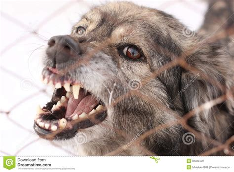 angry barking angry barking in a steel cage royalty free stock images image 36030409