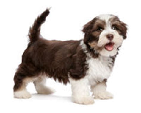 woodland havanese puppies pug puppy standing stock images image 16322374