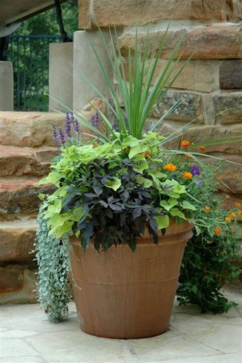sweet potato container garden sweet potato plant gardening containers