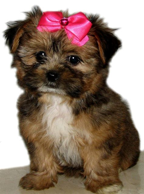 shih tzu rottweiler mix shih tzu havanese mix puppies photo happy heaven